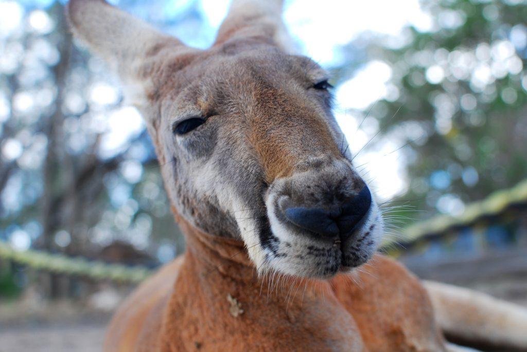 kangarou vivre en Australie