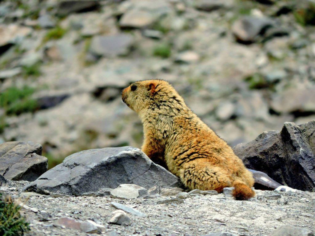 Himalayan Marmot, Markha Valley Trek