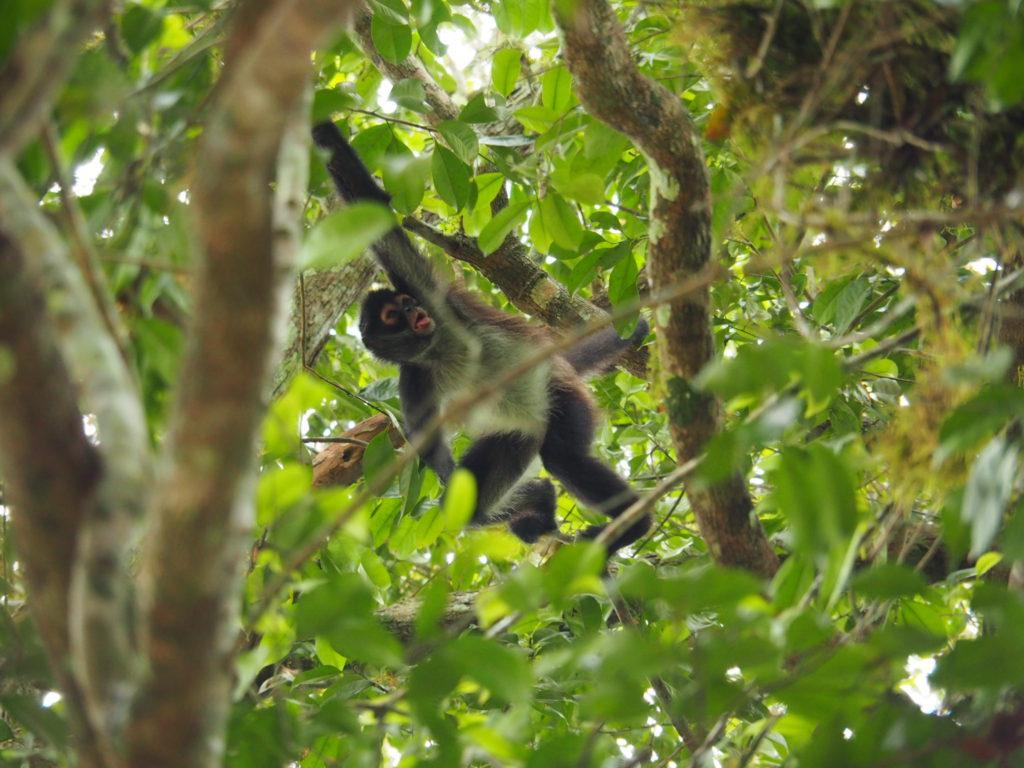 singe à tikal au guatemala