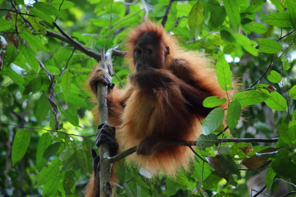 Orangutan in North Sumatra, Gunung Leuser National Park