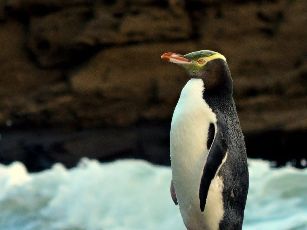 Yellow-eyed PenguinThe world's rarest and most endangered penguin
